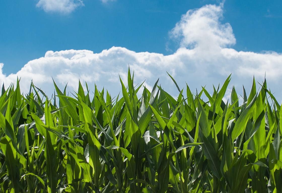 Otkup kukuruza rod 2020.godine